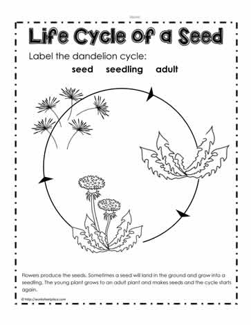 life cycle worksheet the dandelions are a great plant to show the life ...