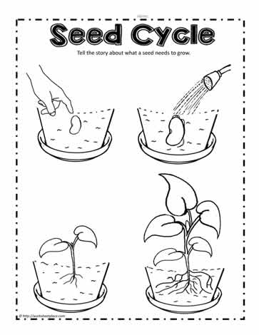 Plant Seed Cycle Worksheets